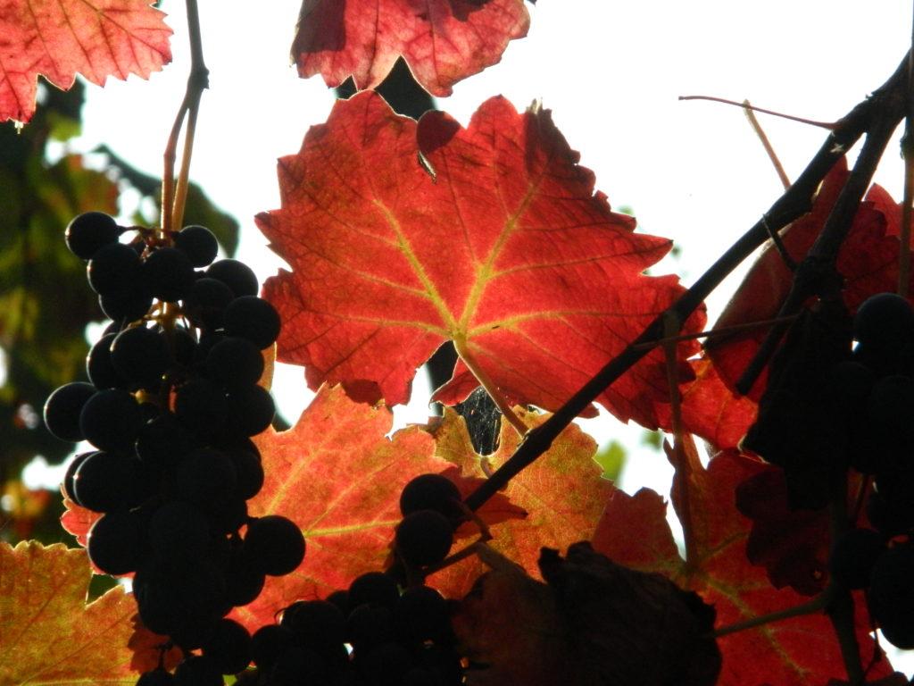 Storia del vino lambrusco: le foglie rosse e gli acini al sole.