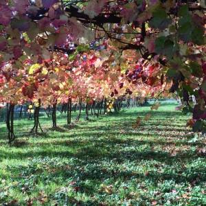 I colori dell'autunno, fra le viti di lambrusco.