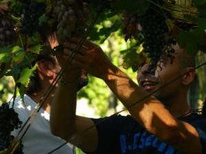 Storia del vino lambrusco: la raccolta dei grappoli