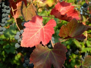 Storia del vino lambrusco: gli acini e le foglie rosso fuoco