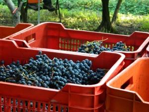 Storia del vino lambrusco: i grappoli nelle casse