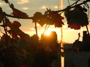 Storia del vino lambrusco: il tramonto dietro le viti